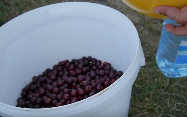 Готовое вино из вишни нужно настаивать минимум месяц