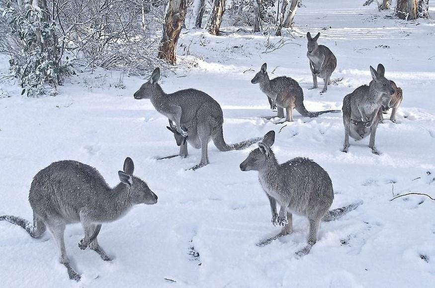 Кенгуру в шоке от снега