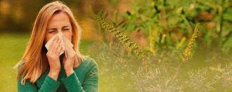 Амброзія - спусковий механізм для загострення алергії.