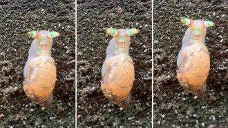 Зомби-улитку с мигающими рогами засняли на видео
