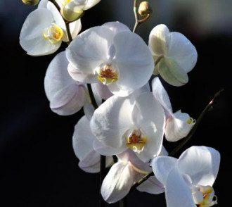 Орхидея убивает любовь