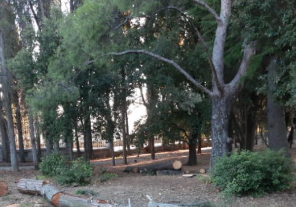 В ялтинском санатории им. А. Чехова начали вырубку вековых деревьев, отмечает блогер