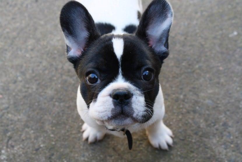 собака, французский бульдог