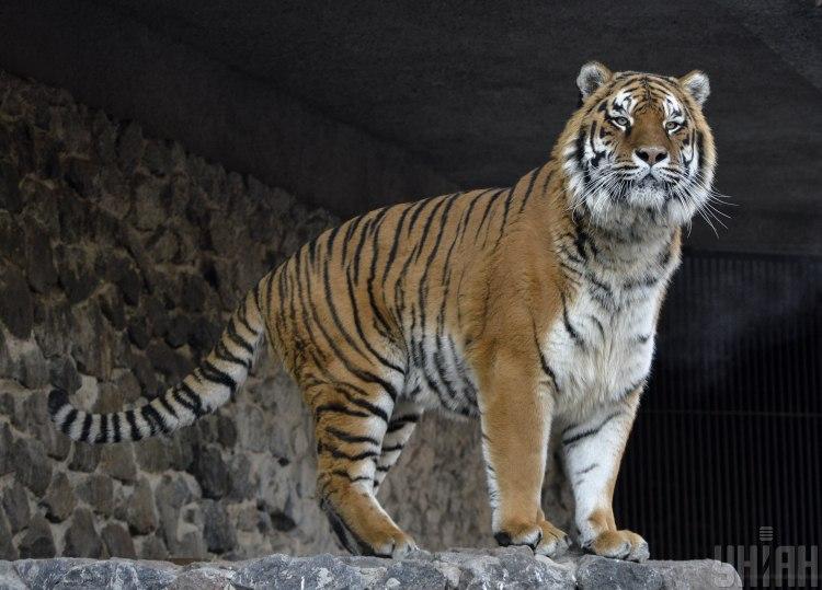 Тигру восточный гороскоп 2020 посоветовал экономить - Китайский гороскоп 2020