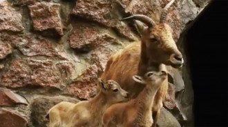 В Индии родился козленок с