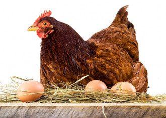 Что появилось раньше курица или яйцо – правильный ответ
