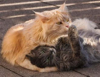 коты_кошка_кошки