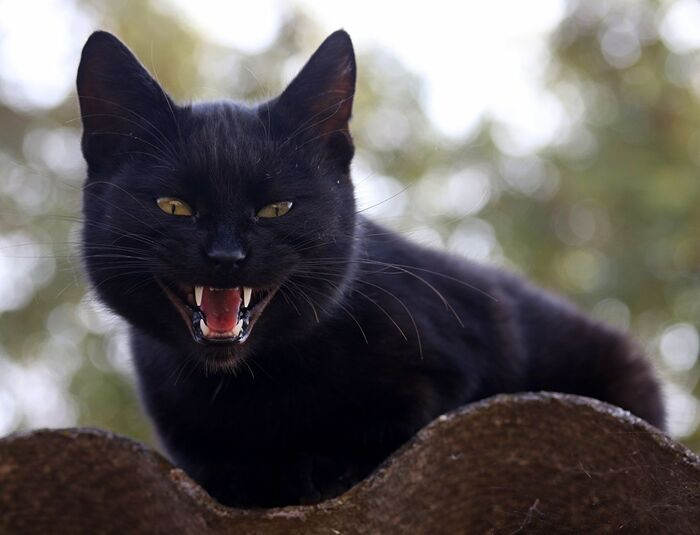 кот_кошка