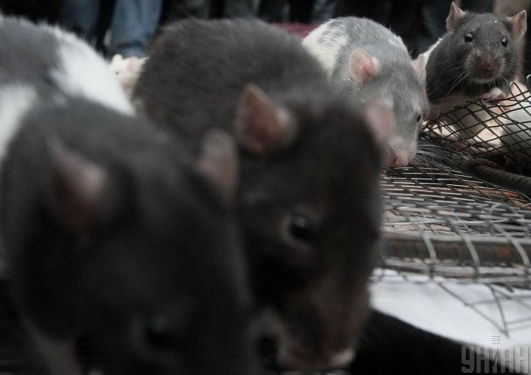 Лікар повідомила, що в Україні не буде спалаху хантавірусу, який переносять щури – Хантавірус в Китаї