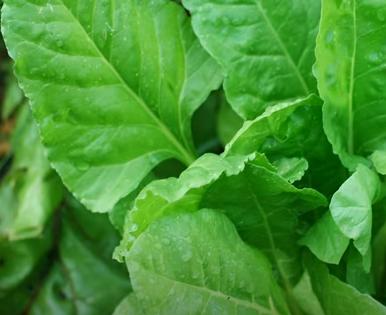 Дієтолог поділилася, що в шпинаті є багато корисних речовин – Шпинат користь та шкода