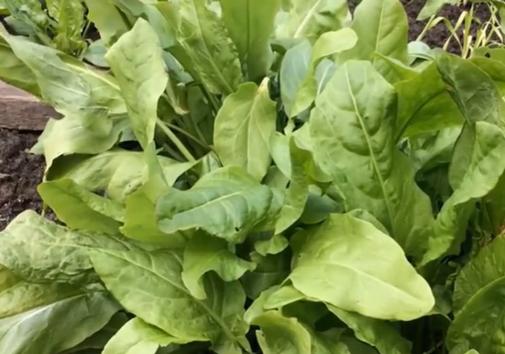Молодые листья щавеля являются самыми полезными – Самая полезная зелень