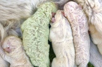 В Италии щенок родился с зеленой шерстью / Фото: скриншот из видео