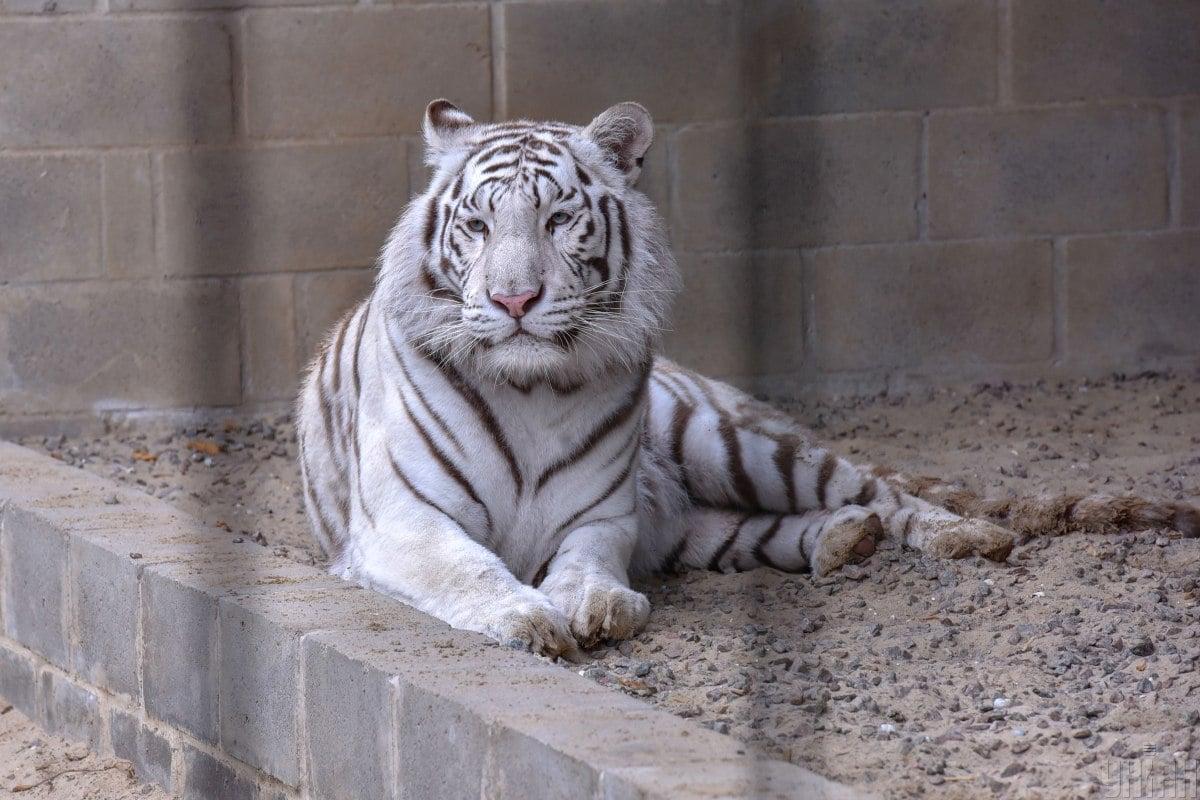 Тигру порадили у 2021-му присвятити час навчанню