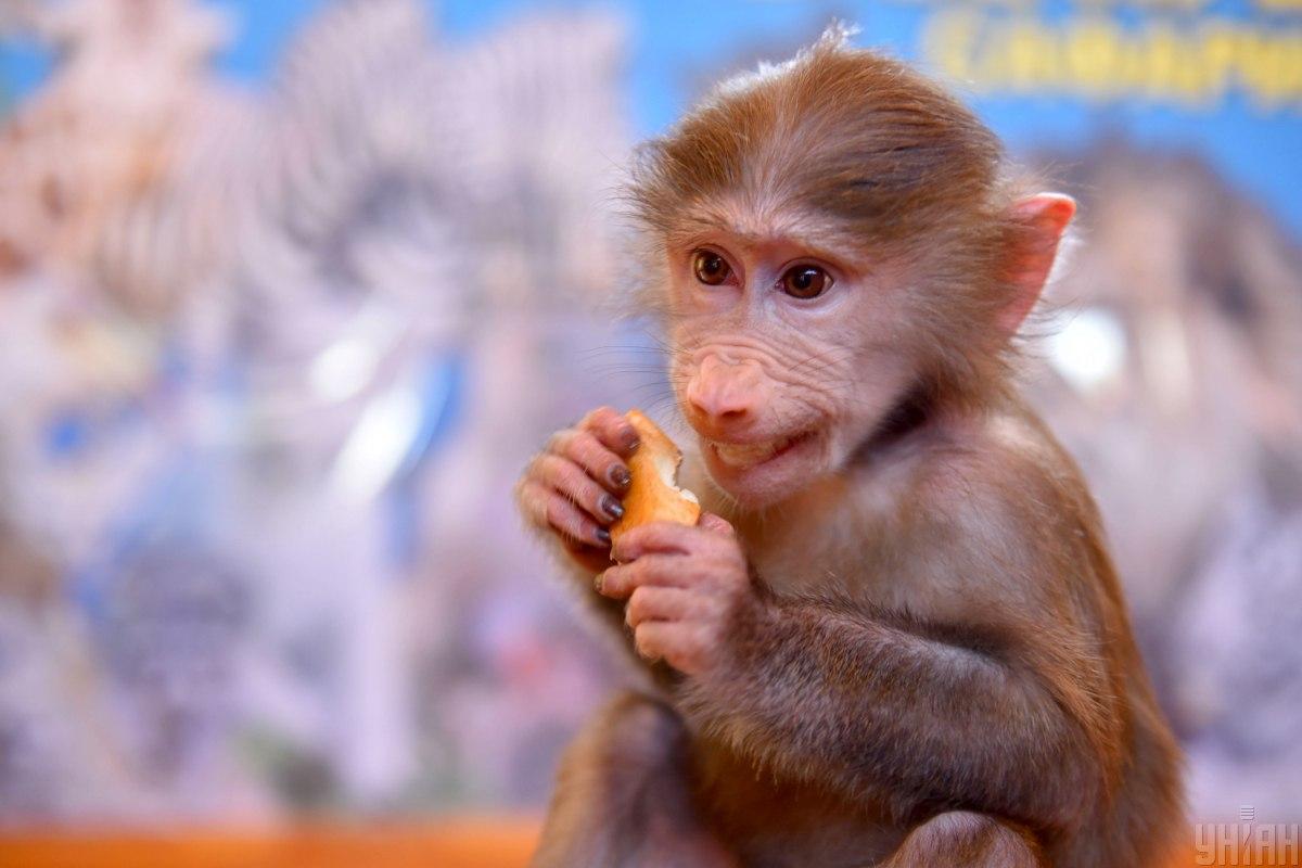 Мавпі спрогнозовано непоганий куш