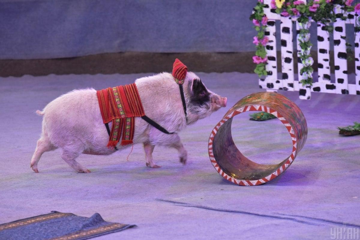 Свинье спрогнозировано продвижение в карьере