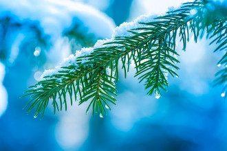 снег_природа_оттепель_капля_елка_ель_зима_погода
