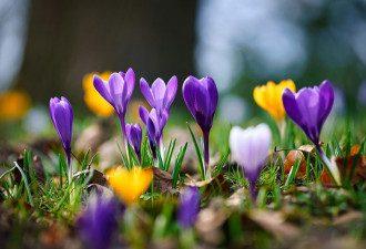 весна_природа_крокуси_цвіти