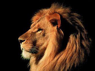 Астропрогноз предупредил, что Лев может стать хищником