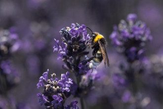 весна, сирень , пчела