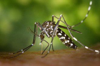 Как выглядит тигровый комар