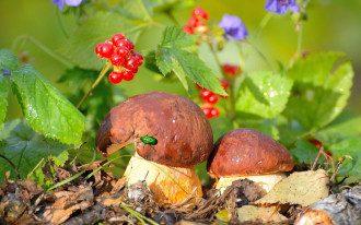 Как определить съедобные грибы