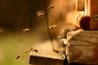 пчелы, мед